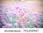 beautiful amaranth flower field ...   Shutterstock . vector #791255947
