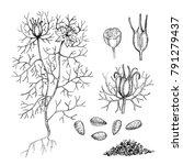 sketch of a nigella sativa... | Shutterstock . vector #791279437