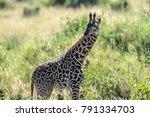 the masai giraffe  also spelled ... | Shutterstock . vector #791334703