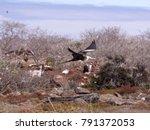 female magnificent frigatebird  ... | Shutterstock . vector #791372053