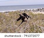 female magnificent frigatebird  ... | Shutterstock . vector #791372077