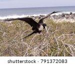 female magnificent frigatebird  ... | Shutterstock . vector #791372083