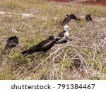 nesting colony of magnificent... | Shutterstock . vector #791384467