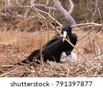 male magnificent frigatebird ... | Shutterstock . vector #791397877
