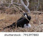 male magnificent frigatebird ... | Shutterstock . vector #791397883