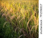 rice plant growing on aa... | Shutterstock . vector #791558317