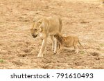 a young cub desperately tries... | Shutterstock . vector #791610493
