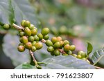 coffee cherries on branch with...   Shutterstock . vector #791623807