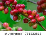 coffee cherries on branch with...   Shutterstock . vector #791623813