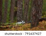 badger in the forest  animal in ... | Shutterstock . vector #791637427