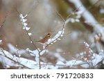 rustic bunting  emberiza... | Shutterstock . vector #791720833