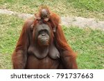 orangutan mother with baby in... | Shutterstock . vector #791737663