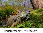 green iguana in tropical... | Shutterstock . vector #791758597