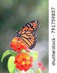 side view of monarch butterfly  ... | Shutterstock . vector #791759857