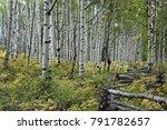 grove of aspen trees with rail... | Shutterstock . vector #791782657