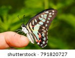 Common Jay Butterfly  Graphium...