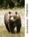 Small photo of Great Bear Rain Forest Grizzly Bears. British Columbia