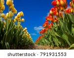 spring blooming tulip field.... | Shutterstock . vector #791931553