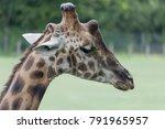 Giraffe Portrait   Giraffa...