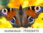 european peacock  aglais io ... | Shutterstock . vector #792026473