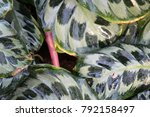 close up of a calathea leaves... | Shutterstock . vector #792158497