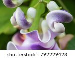 vigna caracalla close up  known ... | Shutterstock . vector #792229423