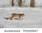 canadian lynx  lynx canadensis  ...   Shutterstock . vector #792320047