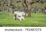 sheep in an orchard with two... | Shutterstock . vector #792487273