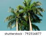 the cuban royal palm tree ... | Shutterstock . vector #792516877