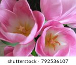 pink tulips close up. cute pink ... | Shutterstock . vector #792536107
