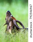 Small photo of Nyala in Kruger national park, South Africa ; Specie Tragelaphus angasii family of bovidae