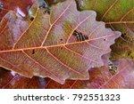 autumn oak leaves | Shutterstock . vector #792551323