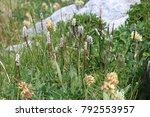 Small photo of alpine bistort (Polygonum viviparum)