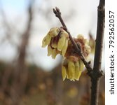 Small photo of Flowering Chimonanthus praecox or Calycanthus. Yellow flowers of Wintersweet on bush in winter