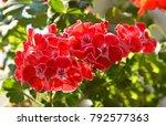 Beautiful Flower Of A Geranium.