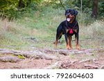 rottweiler dog posing outside... | Shutterstock . vector #792604603