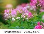 beautiful cleome spinosa or