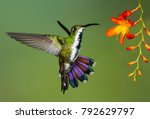 green breasted mango... | Shutterstock . vector #792629797