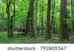 Old Alder And Hornbeam Tree In...