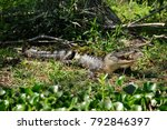 Small photo of Alligator (Alligator mississippiensis), Louisiana