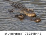 Small photo of mating alligators, Everglades National Park, Florida