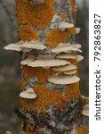 white mushrooms on a tree.... | Shutterstock . vector #792863827