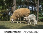 sheep with lambs on the hills | Shutterstock . vector #792933607