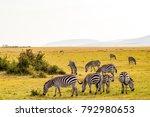 herd of zebras grazing in the... | Shutterstock . vector #792980653