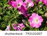 closeup petunia flowers  macro...   Shutterstock . vector #793131007