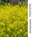 Small photo of Yellow flower Canola flower Flower of canola