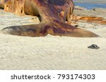 a deceased grey whale on the... | Shutterstock . vector #793174303