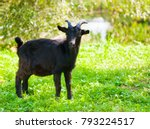 Black Goat Close To Pond