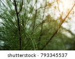close up of pine leaves with