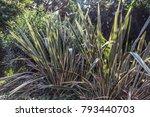 Small photo of Decorative grass calamus in Lloret de Mar, Costa Brava, Catalonia, Spain.